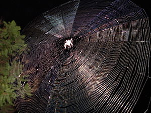 Orb weaver spider web at night