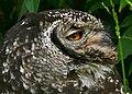 Spotted Eagle Owl (Bubo africanus) female (32126073344).jpg