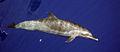 Spotteddolphin1.jpg