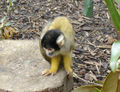 Squirrel Monkey Black Cap.JPG