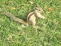 Squirrel at Agra Fort 3.jpg