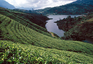 Tea plantation in the Sri Lankan highlands.