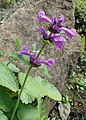 Stachys macrantha kz01.jpg