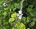 Stachytarpheta australis 02.JPG