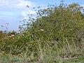 Starr-010423-0025-Podranea ricasoliana-habit-Kula-Maui (23904193774).jpg