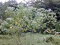 Starr-011205-0001-Melochia umbellata-young trees-Keaukaha-Hawaii (24517566666).jpg