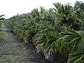 Starr-031118-0069-Livistona chinensis-habit-Hilo-Hawaii (24558098592).jpg