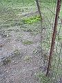 Starr-040514-0120-Cynodon dactylon-after hand weeding-Puhilele HNP-Maui (24584700892).jpg