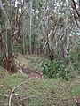 Starr-041214-1499-Eucalyptus sp-trail building-Makawao Forest Reserve-Maui (24353580029).jpg