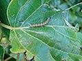 Starr-080208-2433-Cordia subcordata-with kou webworm-Honokanaia-Kahoolawe (24275328694).jpg