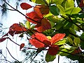 Starr-080608-7638-Terminalia catappa-leaves-West Beach Sand Island-Midway Atoll (24549115499).jpg
