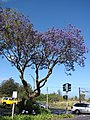 Starr-090513-7518-Jacaranda mimosifolia-flowering habit-Five trees Pukalani-Maui (24954644785).jpg