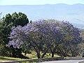 Starr-090513-7531-Jacaranda mimosifolia-flowering habit-Haleakala Hwy Kula-Maui (24836717332).jpg