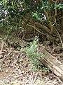 Starr-090514-7859-Ilex aquifolium-suckers-Kula-Maui (24955303755).jpg