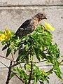 Starr-090806-4008-Turnera ulmifolia-flowering habit with house finch foraging-Kahului-Maui (24344891333).jpg