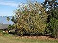 Starr-091023-8499-Acer buergerianum-habit with fall foliage-Kula-Maui (24868751182).jpg