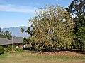 Starr-091023-8505-Acer buergerianum-fall foliage-Kula-Maui (24960447016).jpg