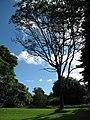 Starr-091104-0683-Cedrela serrata-habit-Kahanu Gardens NTBG Kaeleku Hana-Maui (24869475922).jpg