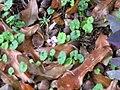 Starr-110307-2714-Cymbalaria muralis-flowering habit-Kula Botanical Garden-Maui (24447926704).jpg