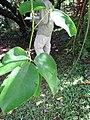 Starr-110330-3823-Strongylodon macrobotrys-leaves-Garden of Eden Keanae-Maui (24450113114).jpg