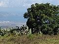 Starr-110629-6396-Opuntia ficus indica-habit-Kula-Maui (25071187586).jpg