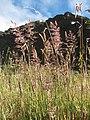 Starr-110713-7090-Holcus lanatus-seedheads-Halemauu Trail HNP-Maui (24803442770).jpg