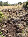 Starr-110920-9017-Hypochoeris radicata-habit and pig dig-Waiale Gulch-Maui (24745613119).jpg