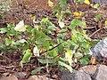 Starr-121220-1365-Ipomoea batatas-leaves-Lua Makika-Kahoolawe (24572291913).jpg