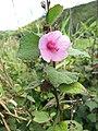 Starr-130322-3861-Urena lobata-flower and leaves-Hanalei NWR-Kauai (24582978273).jpg