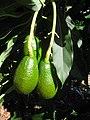 Starr-140614-4553-Persea americana-Little Cado fruit-Hawea Pl Olinda-Maui (25243146535).jpg