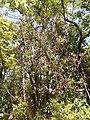 Starr-140909-1731-Syzygium jambos-habit-Wailua-Maui (25219535096).jpg
