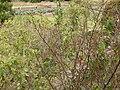 Starr-150108-3376-Caesalpinia decapetala-habit after control-Kekaulike Ave Kula-Maui (24637592433).jpg