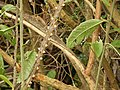 Starr-150108-3377-Caesalpinia decapetala-habit after control-Kekaulike Ave Kula-Maui (25238121036).jpg