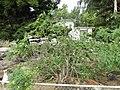Starr-150329-0909-Solanum torvum-habit-Community Garden Sand Island-Midway Atoll (24902788509).jpg