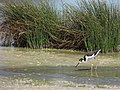 Starr-170905-0492-Cyperus laevigatus-in wetland with Stilt foraging-Kanaha Pond Kahului-Maui - Flickr - Starr Environmental.jpg