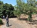 Starr-170913-0136-Sapindus saponaria-plantings with JC-CTAHR Urban Garden Center Pearl City-Oahu - Flickr - Starr Environmental.jpg