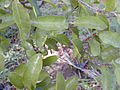 Starr 010330-0572 Sideroxylon persimile.jpg