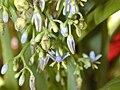 Starr 030418-0118 Dianella sandwicensis.jpg