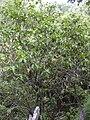 Starr 031023-0003 Nestegis sandwicensis.jpg