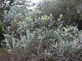 Starr 041018-0041 Acacia podalyriifolia.jpg