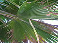 Starr 041120-1036 Pritchardia pacifica.jpg