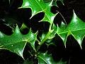 Starr 041226-2279 Ilex aquifolium.jpg