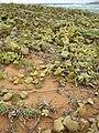 Starr 050519-6855 Solanum nelsonii.jpg