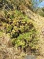 Starr 060121-8699 Artemisia mauiensis var. diffusa.jpg