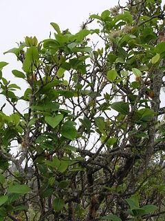 <i>Zanthoxylum</i> genus of plants