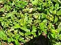 Starr 060416-7660 Calyptocarpus vialis.jpg