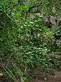 Starr 060422-7751 Hoya australis.jpg