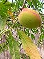 Starr 060615-8179 Prunus persica.jpg