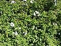 Starr 061223-2702 Plumbago auriculata.jpg