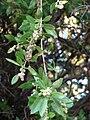 Starr 070727-7616 Conocarpus erectus.jpg